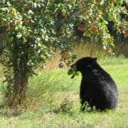 Harvest time bear awareness