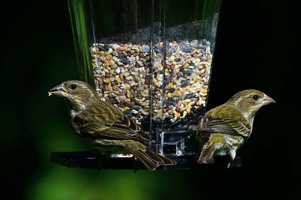 Pair of Pine Siskins