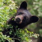 Bears at risk in Lynn Valley